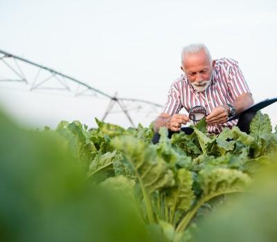 Sunoko očekuje 29.000 ha pod šećernom repom